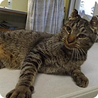Domestic Shorthair Cat for adoption in Orleans, Vermont - Cinder
