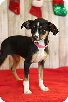 Chihuahua Mix Puppy for adoption in Waldorf, Maryland - Yasmin