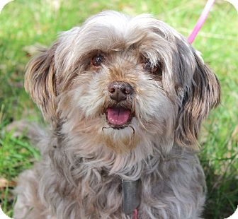 Lhasa Apso/Yorkie, Yorkshire Terrier Mix Dog for adoption in Monroeville, Pennsylvania - MANDY