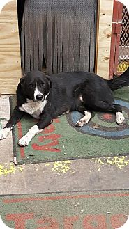 Border Collie/Labrador Retriever Mix Dog for adoption in San Antonio, Texas - Sofia