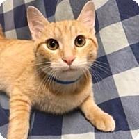 Adopt A Pet :: Cheddar - University Park, IL