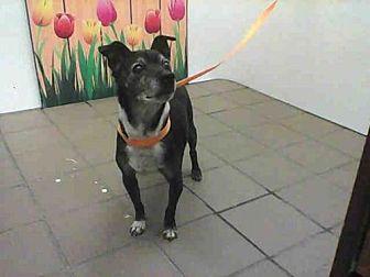 Rat Terrier Mix Dog for adoption in Albuquerque, New Mexico - RAIDER