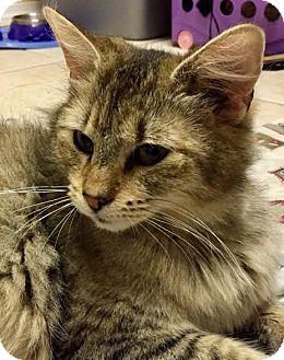 Domestic Shorthair Cat for adoption in Acushnet, Massachusetts - Minzy