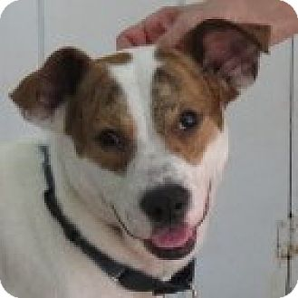 Treeing Walker Coonhound/Labrador Retriever Mix Dog for adoption in St Petersburg, Florida - Lancaster! CHARMING!