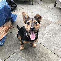 Adopt A Pet :: Benji - Parsippany, NJ
