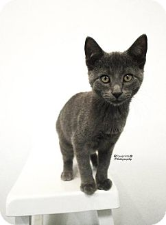 Domestic Shorthair Cat for adoption in Balto, Maryland - Storm