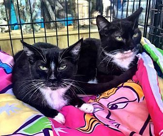 Domestic Shorthair Cat for adoption in Waggaman, Louisiana - Fiona