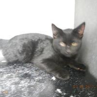 Adopt A Pet :: Captain Jack - Pasco, WA