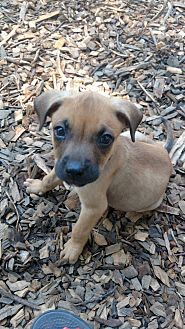 Boxer/Norwegian Elkhound Mix Puppy for adoption in Baltimore, Maryland - Axle