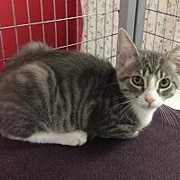 Adopt A Pet :: Thor - Winchendon, MA