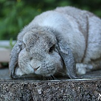Adopt A Pet :: Logan - Seattle c/o Kingston 98346/ Washington State, WA