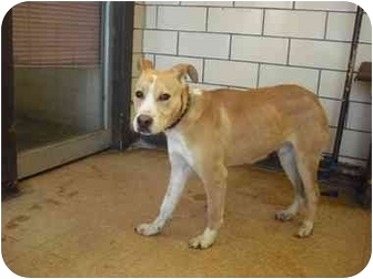 Labrador Retriever/Collie Mix Puppy for adoption in Chicago, Illinois - Lucky