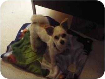 Miniature Poodle/Jack Russell Terrier Mix Dog for adoption in Barrie, Ontario - Edward