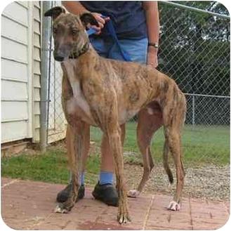 Greyhound Dog for adoption in Oak Ridge, North Carolina - Dan