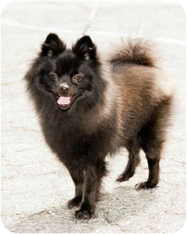 Pomeranian Dog for adoption in Marina del Rey, California - Polly