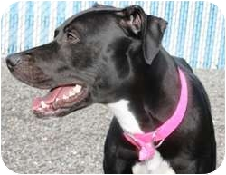 American Pit Bull Terrier/Labrador Retriever Mix Dog for adoption in Westbrook, Maine - Bumblebee