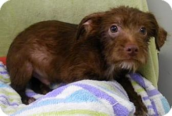 Wirehaired Fox Terrier/Yorkie, Yorkshire Terrier Mix Puppy for adoption in Lincolnton, North Carolina - Bronx