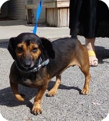 Dachshund Mix Dog for adoption in Brattleboro, Vermont - Dudley (Very Urgent)