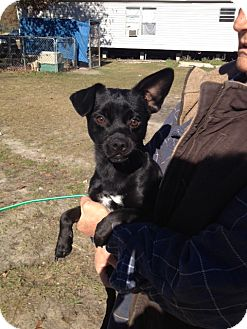 Chihuahua/Terrier (Unknown Type, Small) Mix Dog for adoption in Hammonton, New Jersey - Turbo