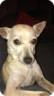 Terrier (Unknown Type, Small)/Chihuahua Mix Dog for adoption in Quentin, Pennsylvania - Bishop Loves Attention!