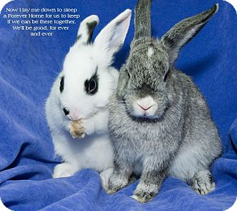 Dwarf Hotot Mix for adoption in Los Angeles, California - Thing 2