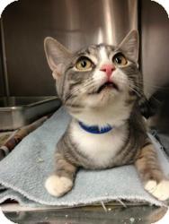 Domestic Shorthair Kitten for adoption in Chicago, Illinois - GRACIE