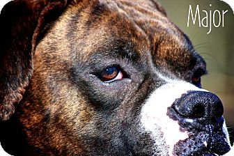 Boxer Dog for adoption in Albany, New York - Major