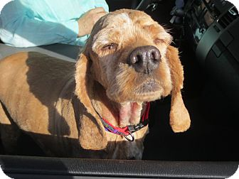 Cocker Spaniel Dog for adoption in Ogden, Utah - Thaddeus