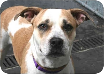 Shepherd (Unknown Type)/American Staffordshire Terrier Mix Dog for adoption in Long Beach, New York - Madison