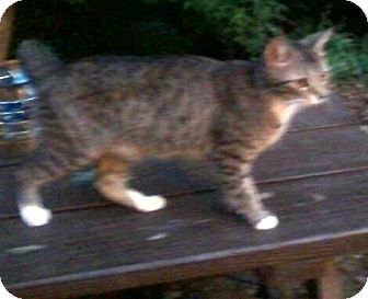 Domestic Shorthair Cat for adoption in Massillon, Ohio - Sweeties MAMA