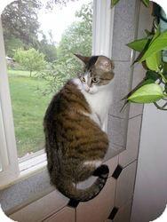 Domestic Shorthair Cat for adoption in Seattle c/o Kingston 98346/ Washington State, Washington - Misty