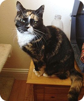 Domestic Shorthair Cat for adoption in Snohomish, Washington - Mindy