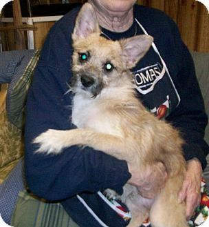 Westie, West Highland White Terrier/Chihuahua Mix Dog for adoption in Liberty Center, Ohio - Richie