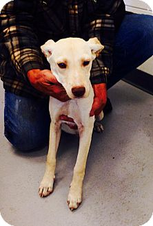 Labrador Retriever Mix Dog for adoption in Dillon, South Carolina - Barney