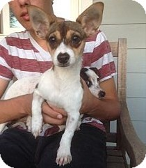 Beagle/Jack Russell Terrier Mix Puppy for adoption in Santee, California - Marcie