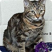 Domestic Mediumhair Cat for adoption in Sacramento, California - Juno B