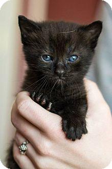 Domestic Shorthair Kitten for adoption in Greensboro, Georgia - Odin