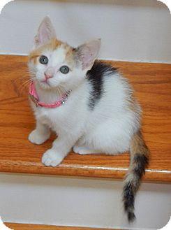 Domestic Shorthair Kitten for adoption in Nashville, Tennessee - Tweety