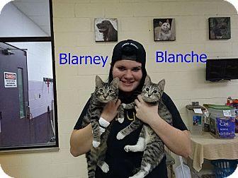 Domestic Shorthair Kitten for adoption in Elyria, Ohio - Blarney