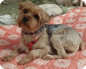 Yorkie, Yorkshire Terrier Mix Dog for adoption in Anderson, South Carolina - Molly