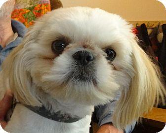 Shih Tzu Dog for adoption in Eden Prairie, Minnesota - DUDESpending