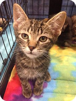 Domestic Shorthair Kitten for adoption in Gainesville, Florida - Camino
