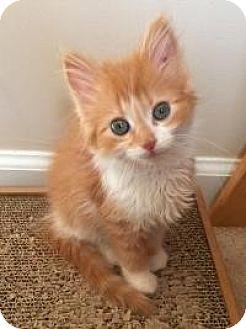 Domestic Longhair Kitten for adoption in Smyrna, Georgia - Willow