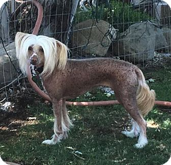 Chinese Crested Dog for adoption in Sparks, Nevada - Satara