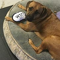 Adopt A Pet :: Teddy Bear - Bedford Hills, NY