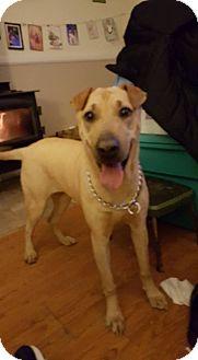Shar Pei Mix Puppy for adoption in Lomita, California - Madge