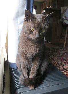 Domestic Shorthair Cat for adoption in Carlisle, Pennsylvania - Downton