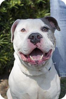 American Bulldog Mix Dog for adoption in Daytona Beach, Florida - Kaine