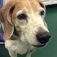 Adopt A Pet :: Mr. Pebbles (FOSTERED) - Alpharetta, GA
