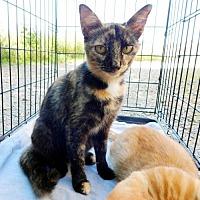 Adopt A Pet :: MAYA - Franklin, TN